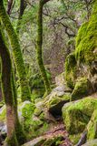 Moss covered trees growing among rock boulders on a foggy day, Castle Rock State park, San Francisco bay area, California royalty free stock photography