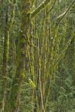 Moss covered trees in a mixed forest, near Squamish, British Columbia, Canada. royalty free stock photo