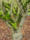 Moss covered trees in orchard Royalty Free Stock Image
