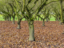 Moss covered trees in orchard Stock Photography
