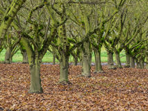 Moss covered trees in orchard Royalty Free Stock Photography