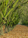 Moss covered trees in orchard Stock Images