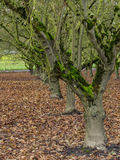 Moss covered trees in orchard Stock Photo