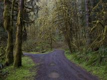 Moss covered trees in Oregon. Moss covered trees line a country lane in Oregon Royalty Free Stock Photography