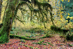 Moss covered trees in rainforest Royalty Free Stock Photo