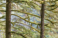 Moss Covered Trees Royalty Free Stock Photography