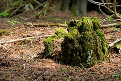 Moss Covered Trunk Of A Long Fallen Tree. A late springtime forest scene in Ontario, Canada. A moss covered trunk of a long ago fallen tree will soon disappear stock image