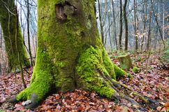 Moss covered tree trunk. A tree in the authumn with a moss-covered trunk Royalty Free Stock Images