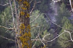 A moss-covered trunk of a wild pear stock photography