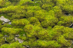 Moss covered wall Royalty Free Stock Photo