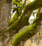 Moss covered White Oak. Moss covered trunk and limbs of White Oak and the surrounding White Oak Savannah in early winter Stock Photography