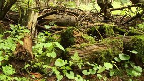 Moss covering forest and trees. Forest covered in moss with broken trees stock video