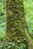 Moss Covers Large Tree Trunk dans Smokies image stock