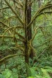 Moss Covers Limbs av trädet arkivbild