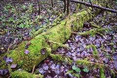 Moss covers the trunk of an old tree. Tree, nature, forest, plant. Wildlife. Autumn stock images
