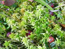 Moss and cranberries Royalty Free Stock Photography