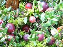 Moss and cranberries Stock Image