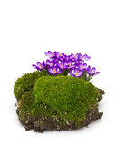 Moss  and crocuses Stock Images