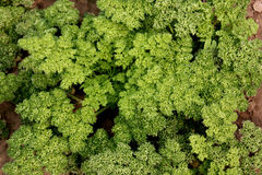 Moss curled parsley Stock Image
