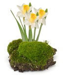 Moss and daffodils isolated on white Stock Photography