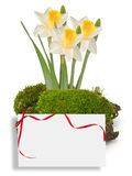Moss and daffodils isolated on white Royalty Free Stock Images