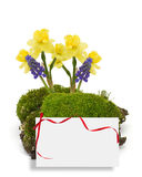 Moss, daffodils, muscaries  isolated on white Stock Photography