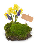 Moss, daffodils, muscaries  isolated on white. Tag for text. Royalty Free Stock Images