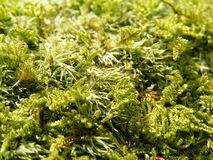 Moss detail. With light and shadow royalty free stock images