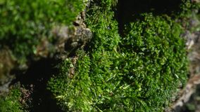 Moss detail on the bark of a tree. Selective focus stock footage