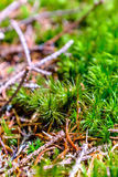 Moss detail. Closeup of a moss growing in a forest Royalty Free Stock Images