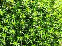 Moss Details Royalty-vrije Stock Fotografie