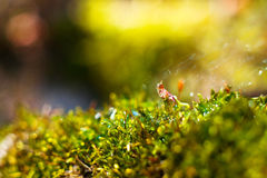 Moss in  dew Royalty Free Stock Photos