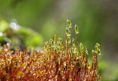 Moss in the dew Stock Photos