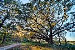 Moss Draped Live Oak Over The Edisto River At Botany Bay Plantation In South Carolina Royalty Free Stock Images