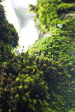 Moss and drop. Green moss with drop of water Royalty Free Stock Image