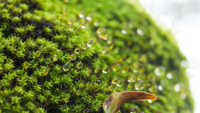 Moss and drop. Green moss with drop of water Royalty Free Stock Images