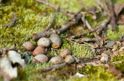 Moss and dry acorns in the forest Stock Image