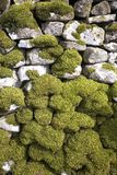 Moss on a dry stone wall. Yorkshire, England stock images