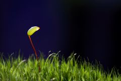 Moss - Eurhynchium angustirete Royalty Free Stock Images