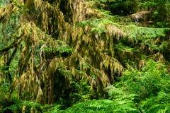 Moss And Evergreen Trees Deep nella foresta del nord-ovest pacifico, U.S.A. fotografia stock