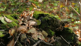 Moss and fallen leaves on a fallen tree. Autumn in the deciduous forest. Shooting movies in 4K. The shutter speed is 1/50. With the use of ND-filter. Without stock video