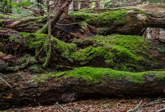 Moss on Fallen Logs. Thick green moss grows on logs fallen along the Appalachian Trail stock images