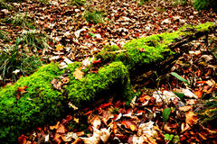 Moss on a fallen tree in autumn park Stock Image