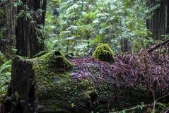 Moss on a Fallen Tree Royalty Free Stock Photo