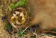 Moss and feathers in nest Stock Images