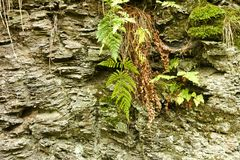 Moss and fern on rock Royalty Free Stock Photography
