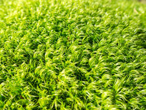Moss fibers Stock Images
