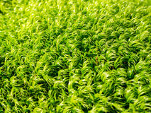 Moss fibers Stock Photo