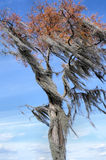Spanish Moss Filled Tree Blowing Wind Royalty Free Stock Photography