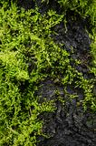 Moss is on the tree. Moss is flora and growth on the tree in deep forest . it has water o spore Royalty Free Stock Photography